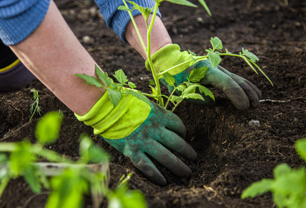 Kädet istuttavat taimea multaan.